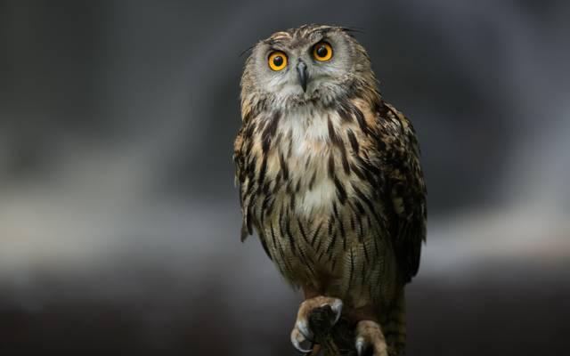 猫头鹰,背景,性质