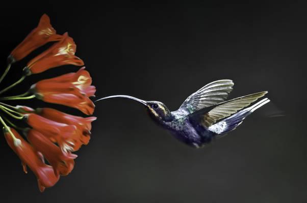 哼唱着鸟和红色花,紫罗兰色sabrewing高清壁纸的浅焦点