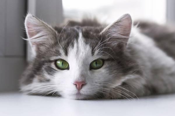 特写镜头摄影的灰色和白色的猫高清壁纸
