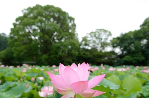 粉红色的莲花花场高清壁纸