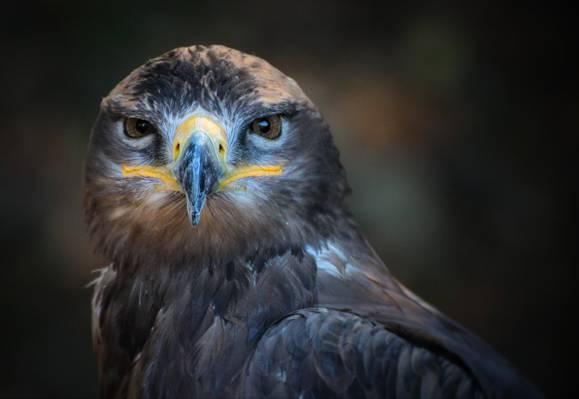 棕色和灰色的猫头鹰高清壁纸