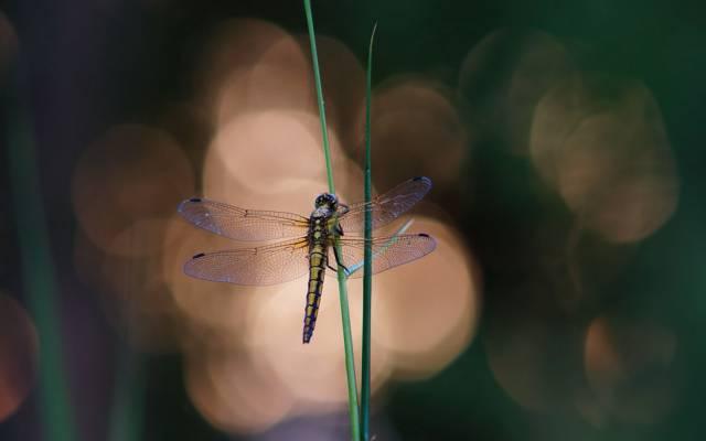 眩光,草,草,蜻蜓,背景