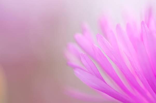 粉红色颜色,性质,植物,花瓣高清壁纸