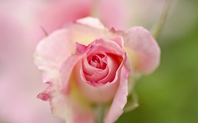 花,背景,玫瑰
