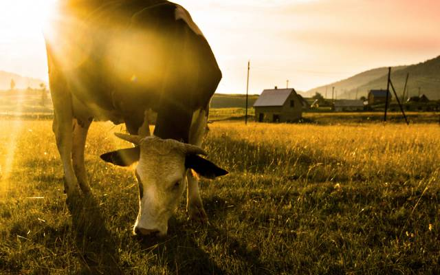 壁纸早上,场,牛
