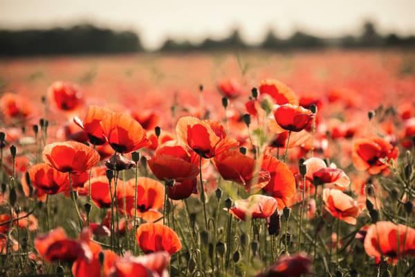 深度的现场摄影的红色罂粟花朵高清壁纸