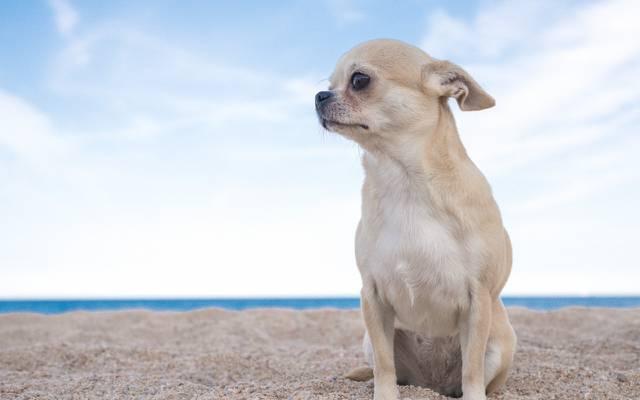 壁纸狗,奇瓦瓦狗,小狗,狗,天空,沙子