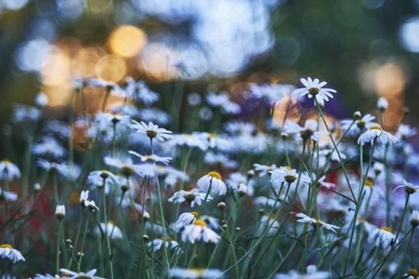 白色的鲜花高清壁纸浅焦点摄影