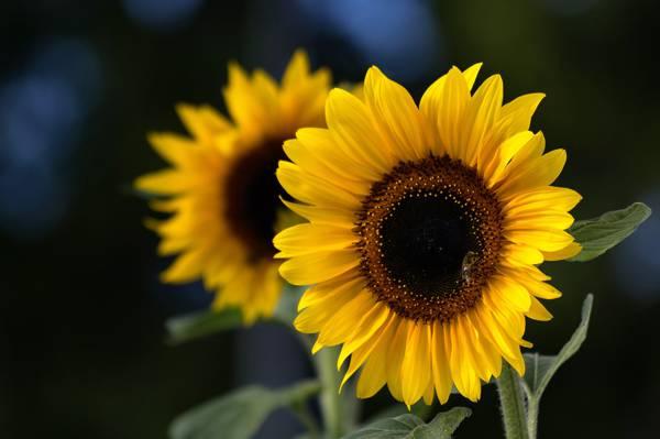 向日葵,向日葵,花瓣