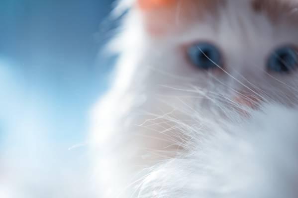 小猫白色毛皮,猫高清壁纸的特写摄影