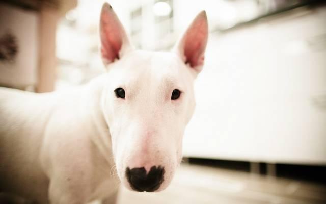 壁纸狗,斗牛梗,白,泡沫,脸