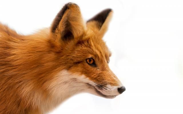 壁纸羊毛,枪口,狐狸,红色,白色背景