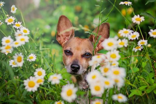 狗,脸,洋甘菊,鲜花