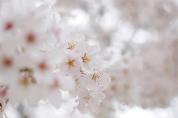 柔情,鲜花,科,光,性质,分支,开花,白,模糊,花瓣,白,樱花