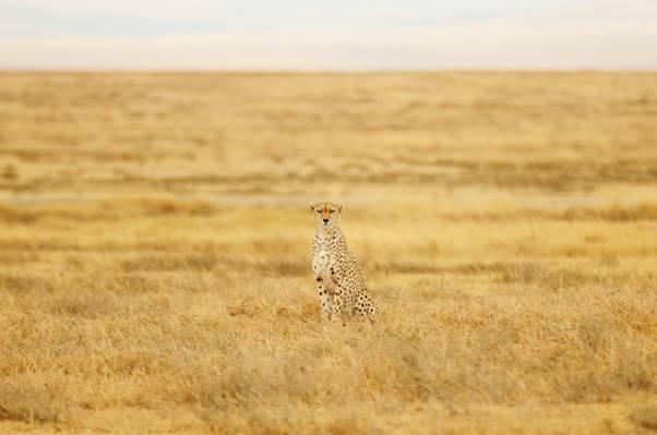 猎豹站在棕色的草地场摄影高清壁纸