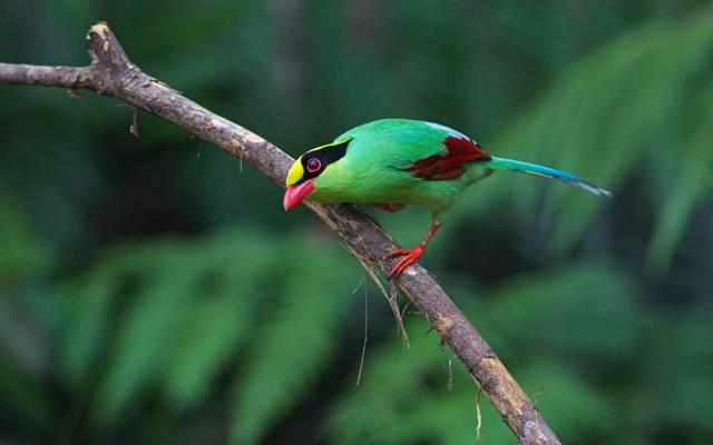 羽毛,油漆,分支,绿色Cissa,尾巴,鸟,喙