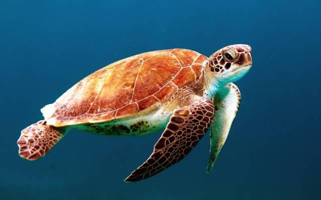 棕色海龟体内的水高清壁纸