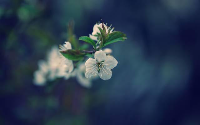 树,樱桃,绽放,春天,叶子