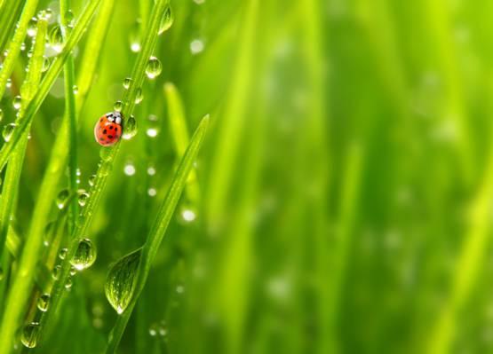 宏,早上,早晨,宏,性质,瓢虫,草,露滴,瓢虫,罗莎,草,性质,...