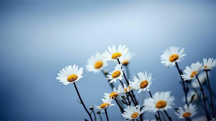森系唯美小雏菊