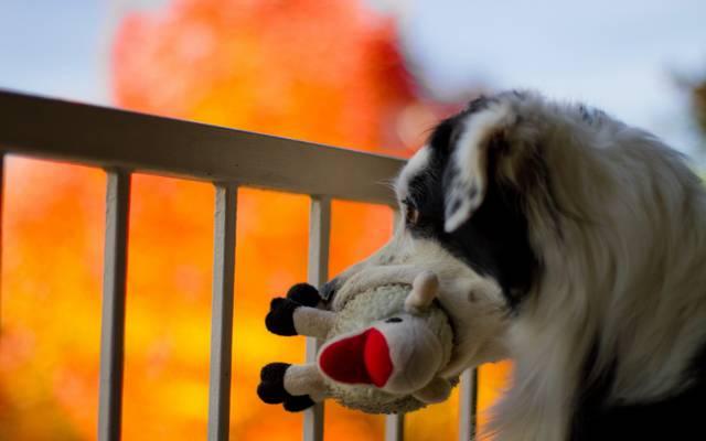 狗,玩具,背景