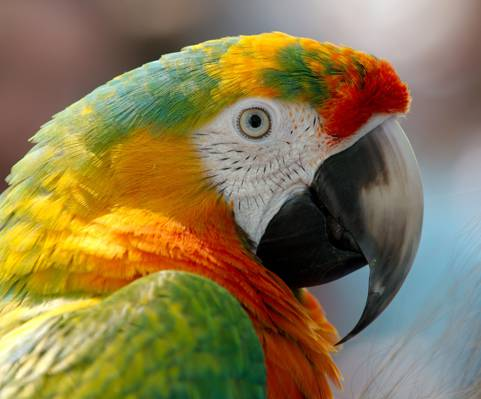关闭绿色和红色金刚鹦鹉高清壁纸的照片