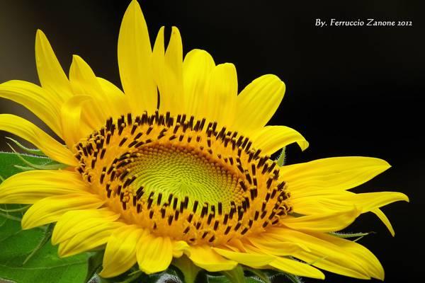 黄色的向日葵,girasole高清壁纸的浅焦点照片