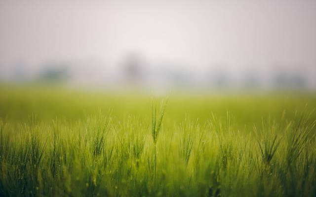 雾,罗莎,草,场,小穗