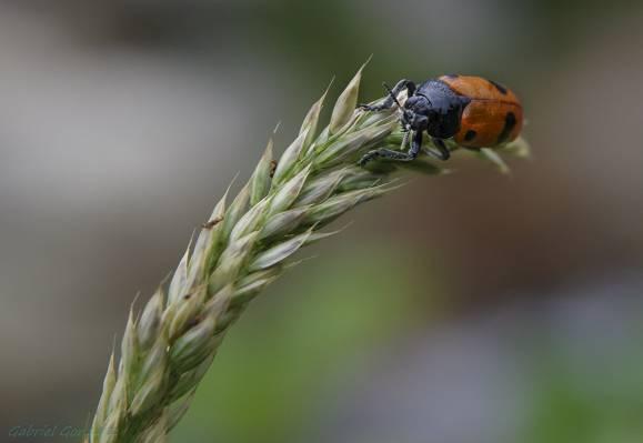 宏观和选择性焦点摄影的棕色和黑色瓢虫高清壁纸