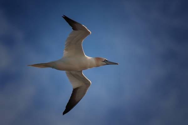 飞行,鸟类,北Gannet