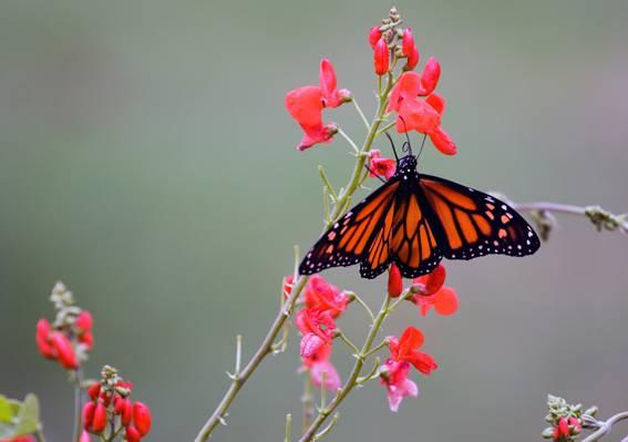 选择性的重点摄影的橙色和黑色的蝴蝶,红色的pallled花高清壁纸