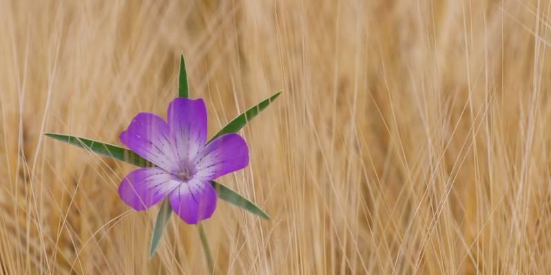 紫色的玫瑰花关闭照片高清壁纸