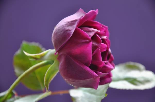 芽,宏,花瓣,玫瑰,叶子