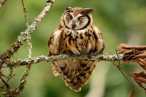 鸟,分支,条纹猫头鹰,猫头鹰