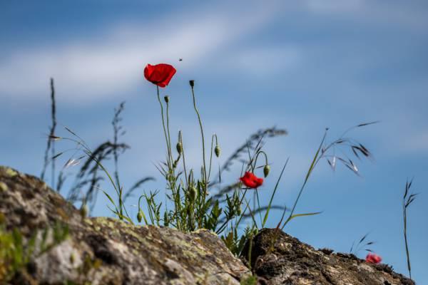 在岩石高清壁纸上红色的玫瑰花
