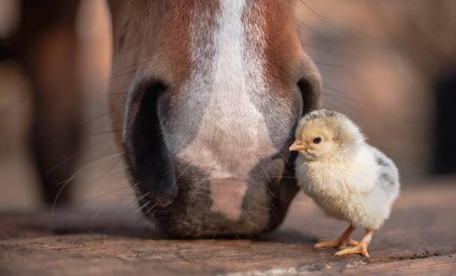 马,鸡,性质