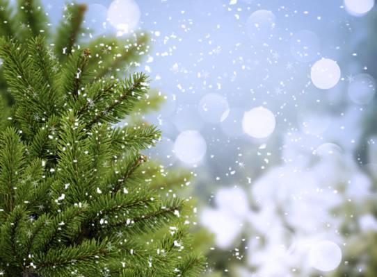 云杉,冷,冬天,树,树,雪花,散景,吃,绿党,分支机构