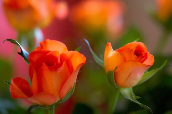 芽,宏,对,花瓣,玫瑰