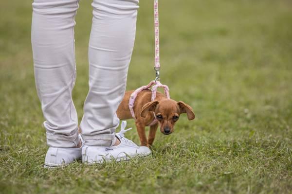 狗,皮带,脚