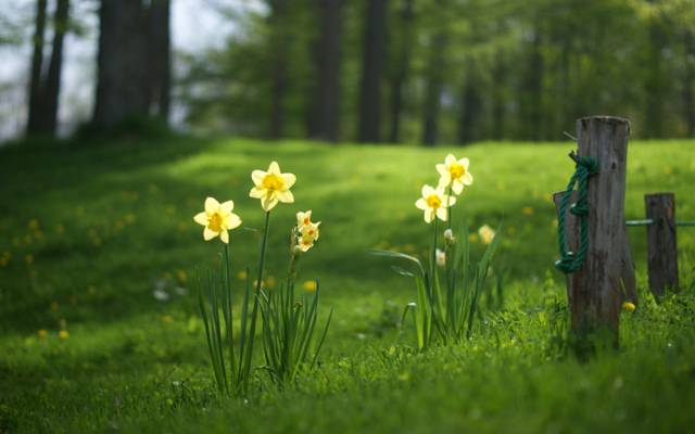 夏天,草,水仙花,森林,林间空地