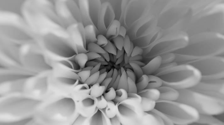 微观摄影的白色菊花花高清壁纸