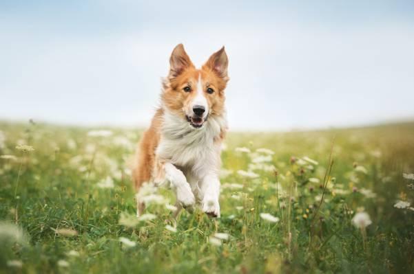 运行,动物,边境牧羊犬,草,狗