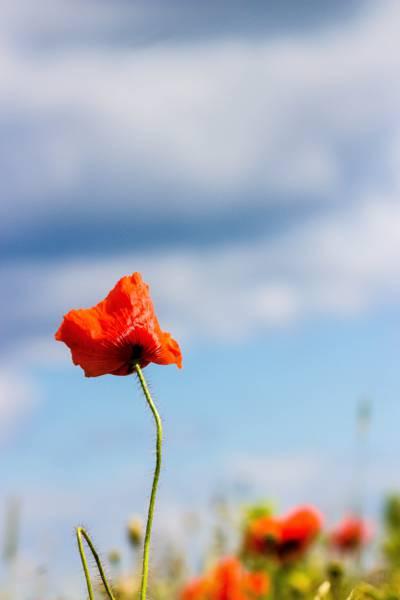 红色罂粟花在自我对焦摄影高清壁纸