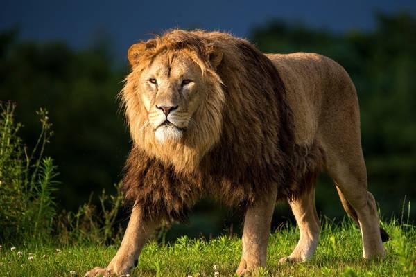 看,鬃毛,捕食者,草地,草,狮子座