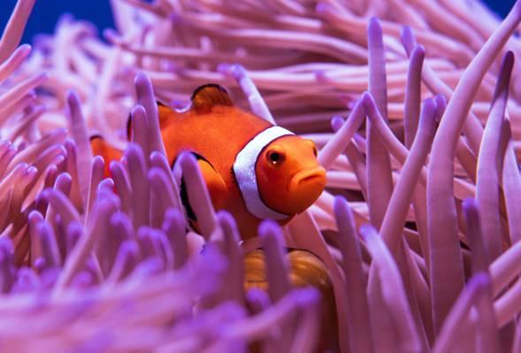 海底的小丑鱼
