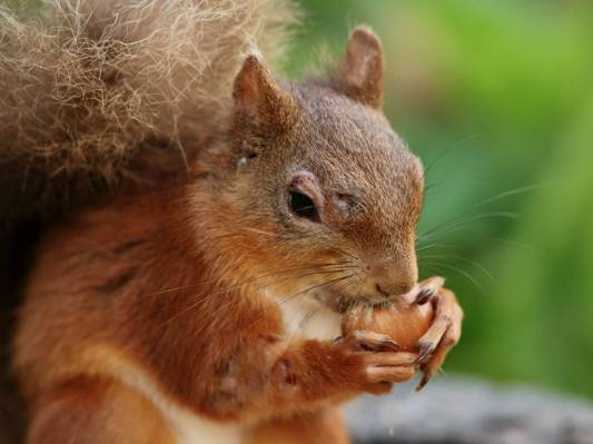 松鼠在白天高清壁纸吃坚果的特写照片