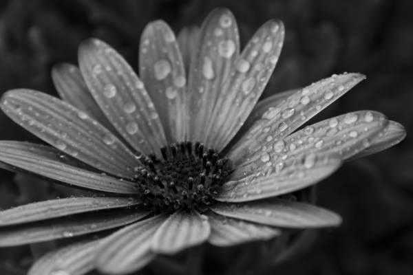与水露水花的灰度照片高清壁纸