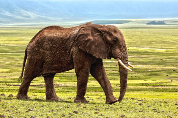棕色大象在草地高清壁纸