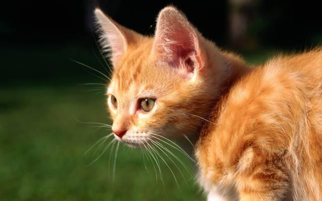 猫,小猫,红色,猫,猫