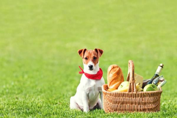 瓶,玻璃,杰克罗素梗,草,接力棒,酒,奶酪,面包,水果,田野,野餐,苹果,香蕉,...